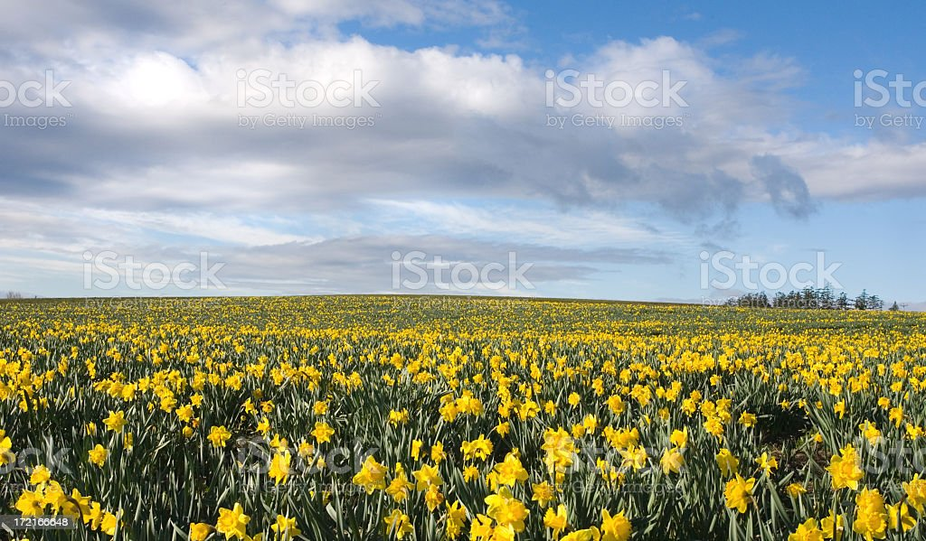 Field of Hope- Daffodils for Cancer Society royalty-free stock photo