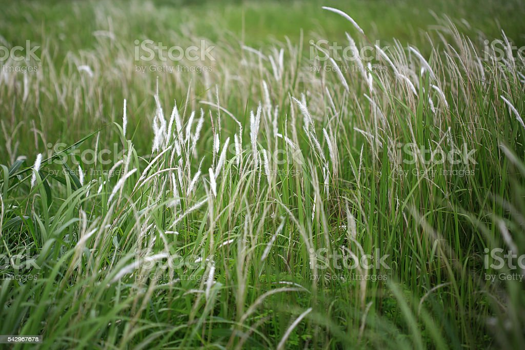 Field of Imperata cylindrica stock photo