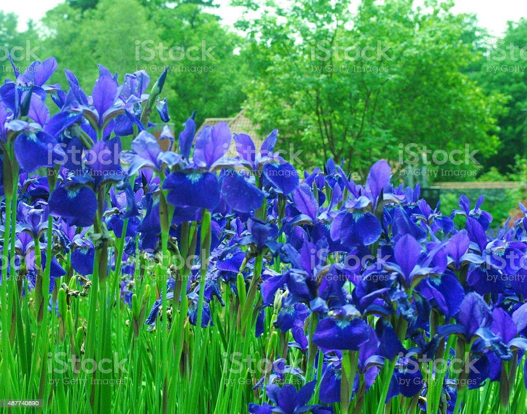 Field of Iris stock photo