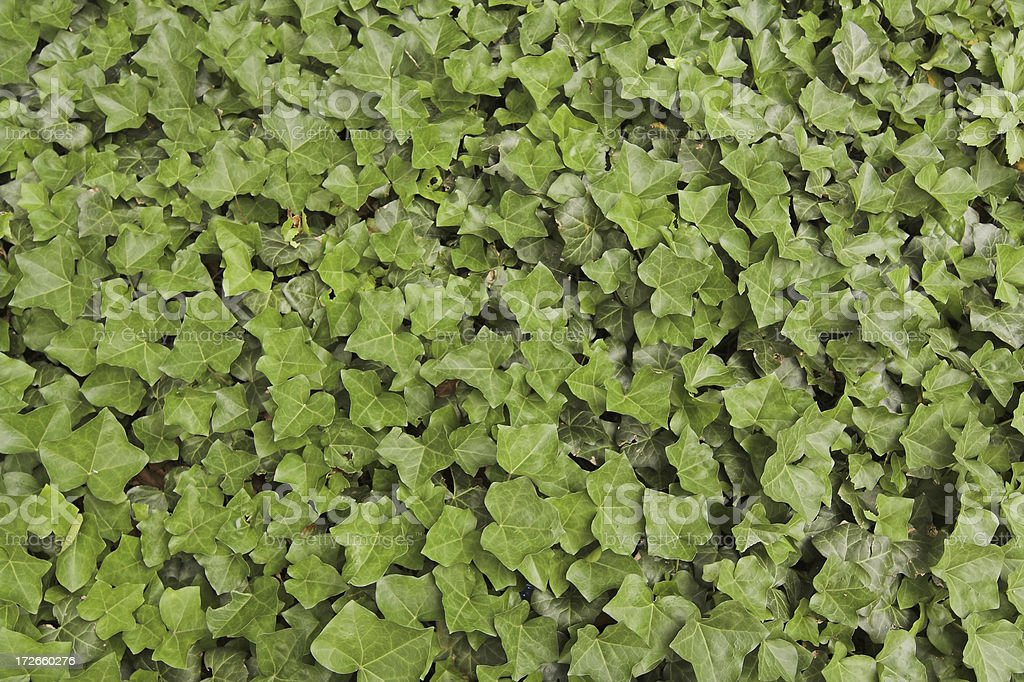Field of Ivy royalty-free stock photo