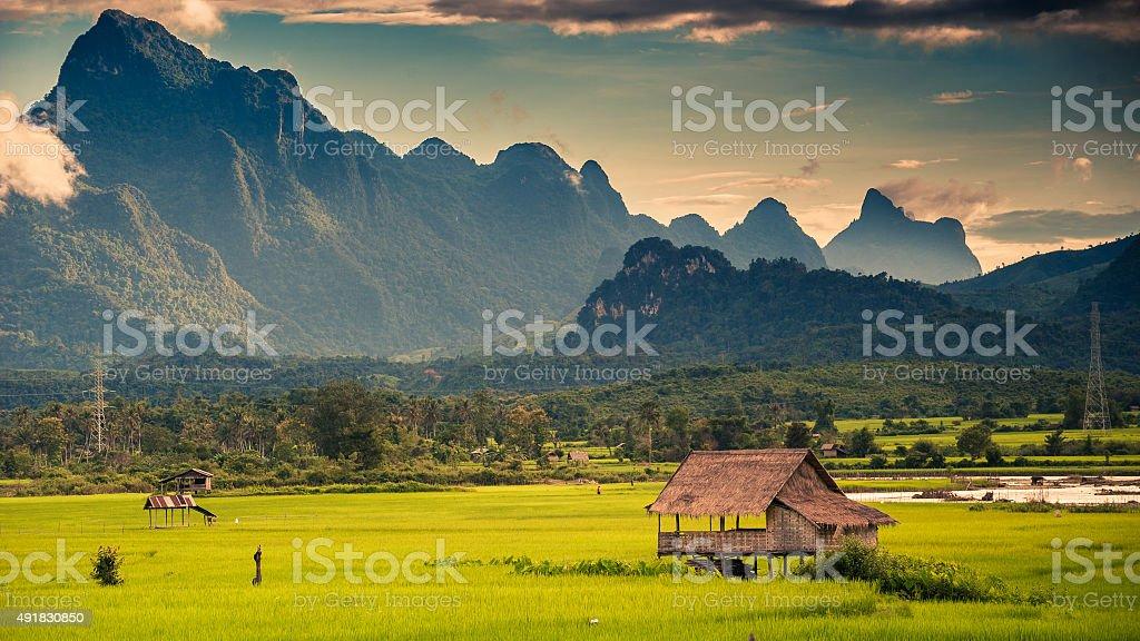 Field of Kasi stock photo