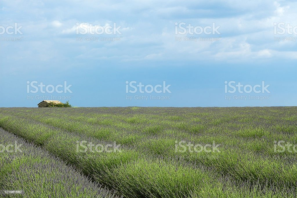 Field of Lavender at Valensole (Provence) royalty-free stock photo