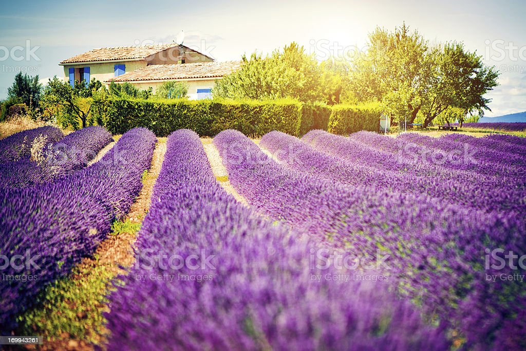 Field of lavender stock photo