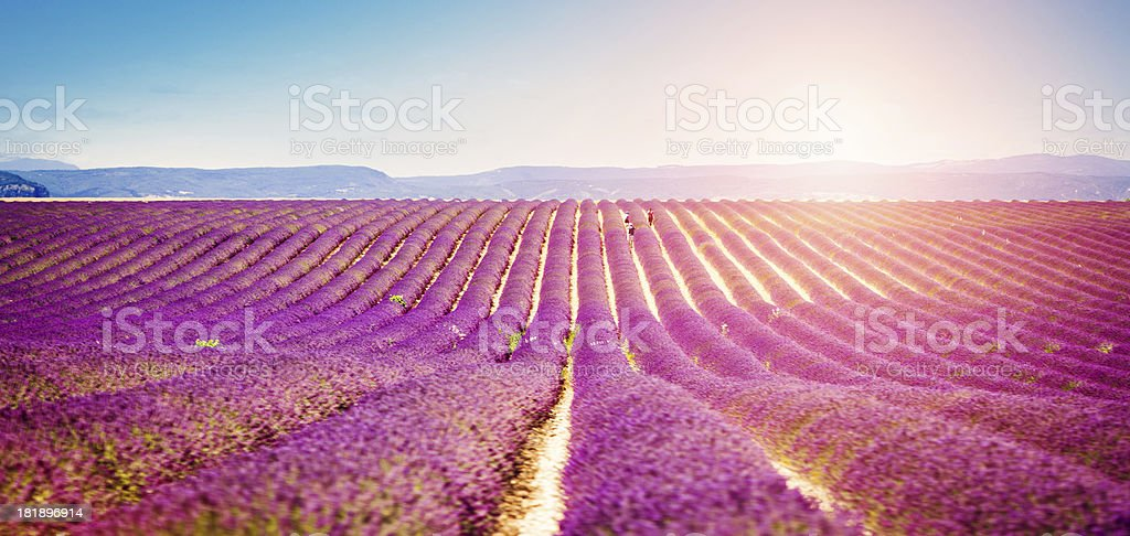 Field of lavender royalty-free stock photo