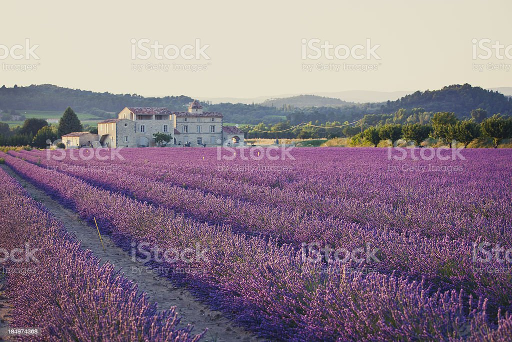 A field of lavender plants in rows royalty-free stock photo