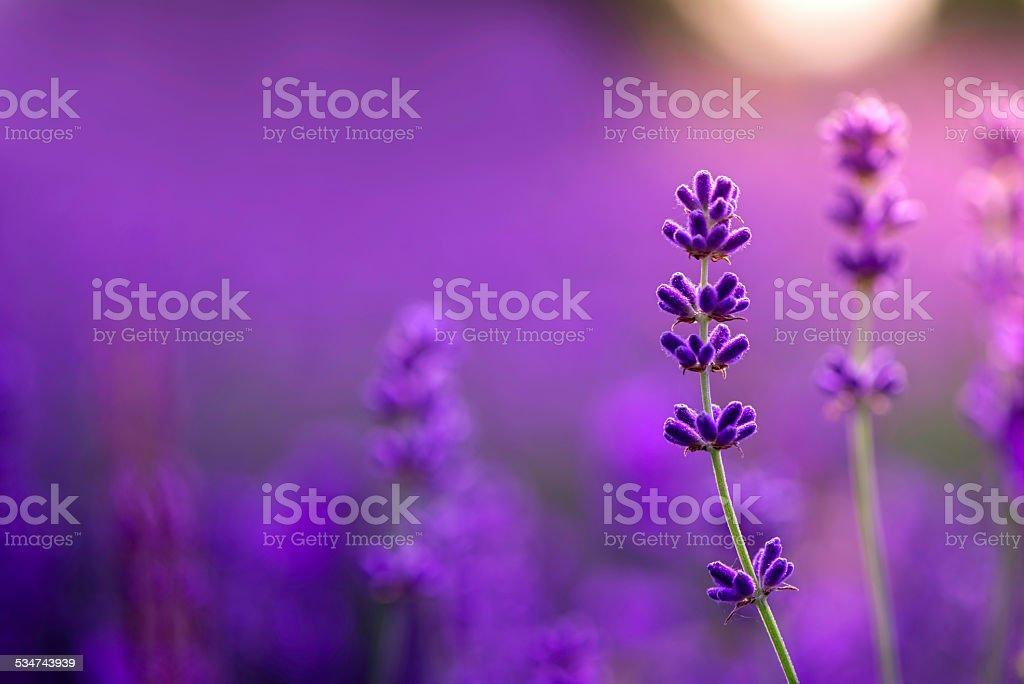 Field of lavender plants stock photo