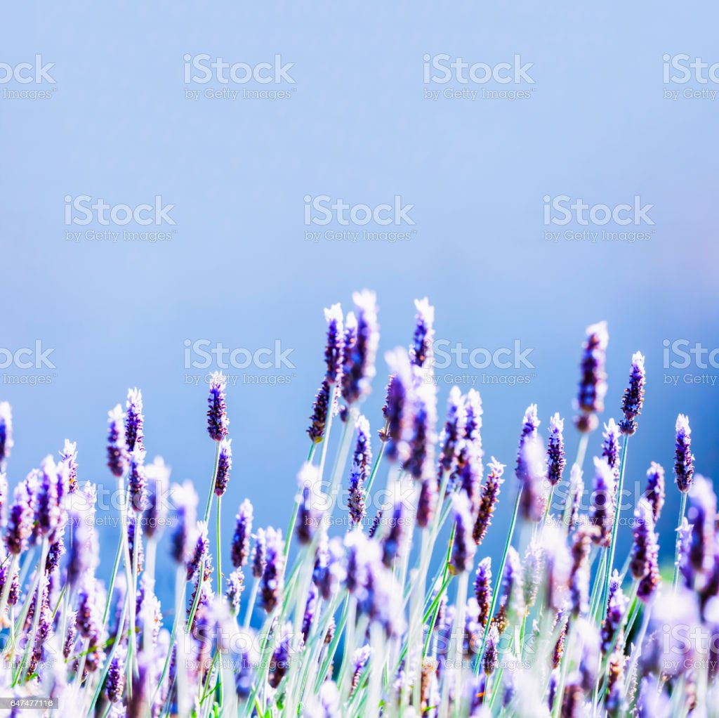 Field of Lavender, square blue background with copy space stock photo