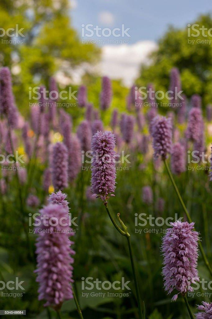 Field of lila Flowers stock photo