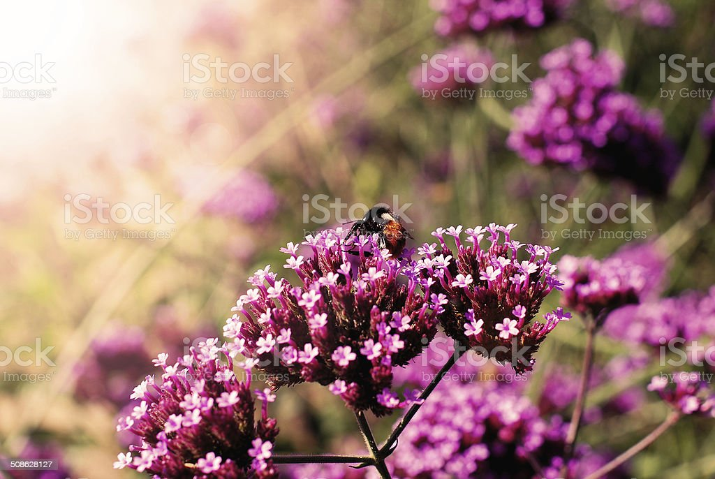 Field of lilac colored flowers,verbena bonariensis stock photo