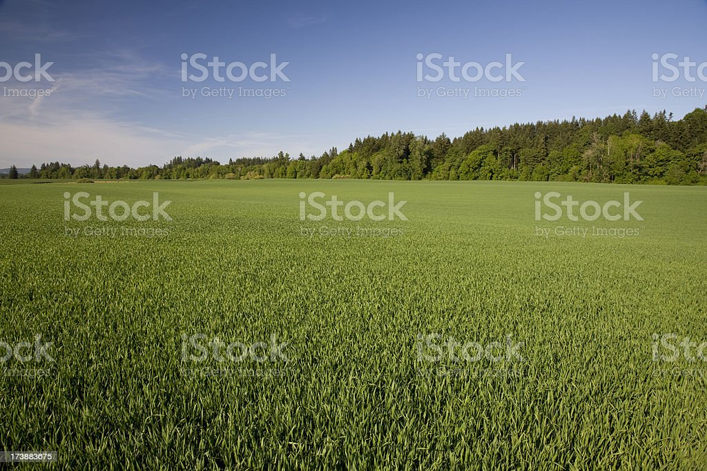 Field of long grass blue sky with trees on horizon royalty-free stock photo