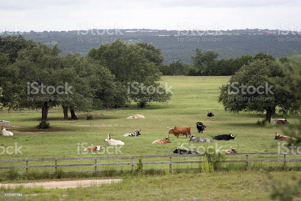 Field of Longhorns royalty-free stock photo
