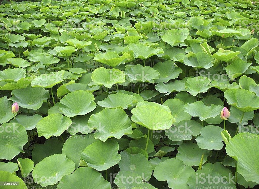 Field of Lotus Flowers stock photo