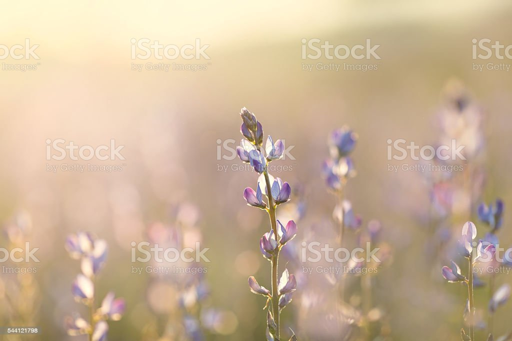 field of lupine stock photo