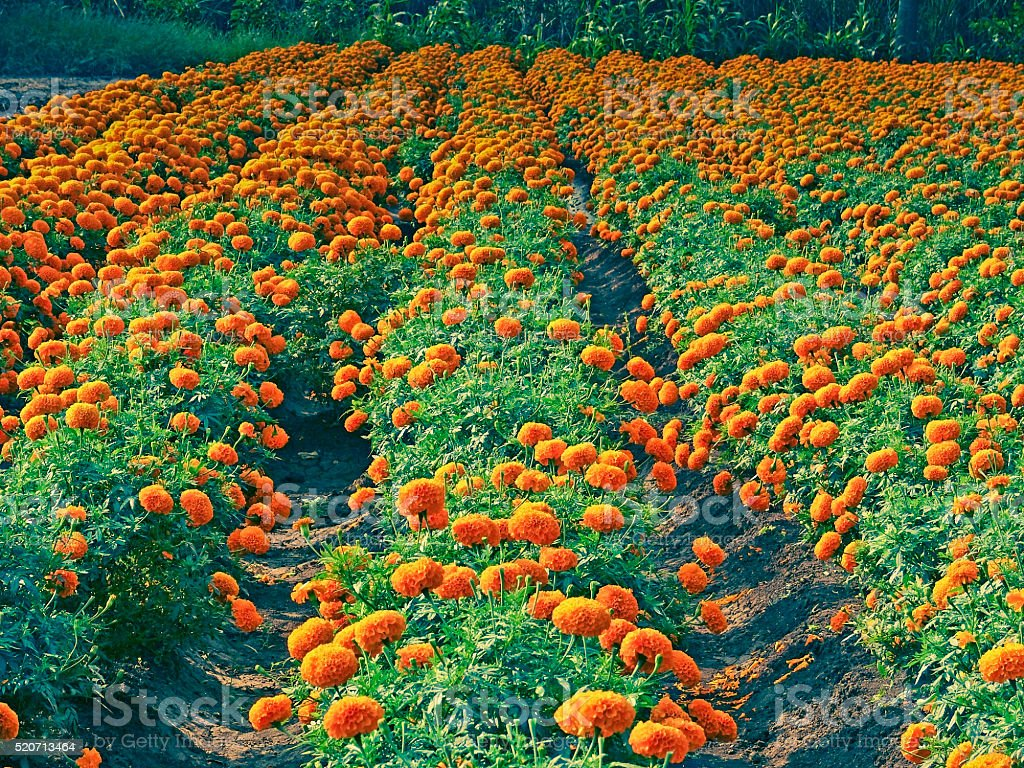 Field of Marigold flowers, Calendula officinalis LINN. stock photo