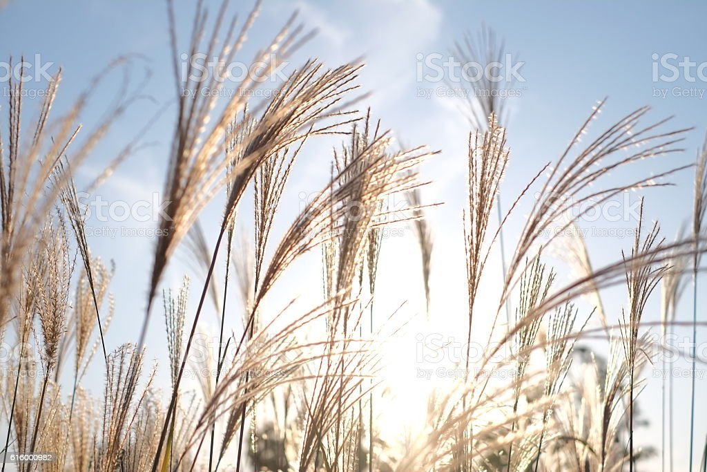 Field of Miscanthus with nice weather fall stock photo