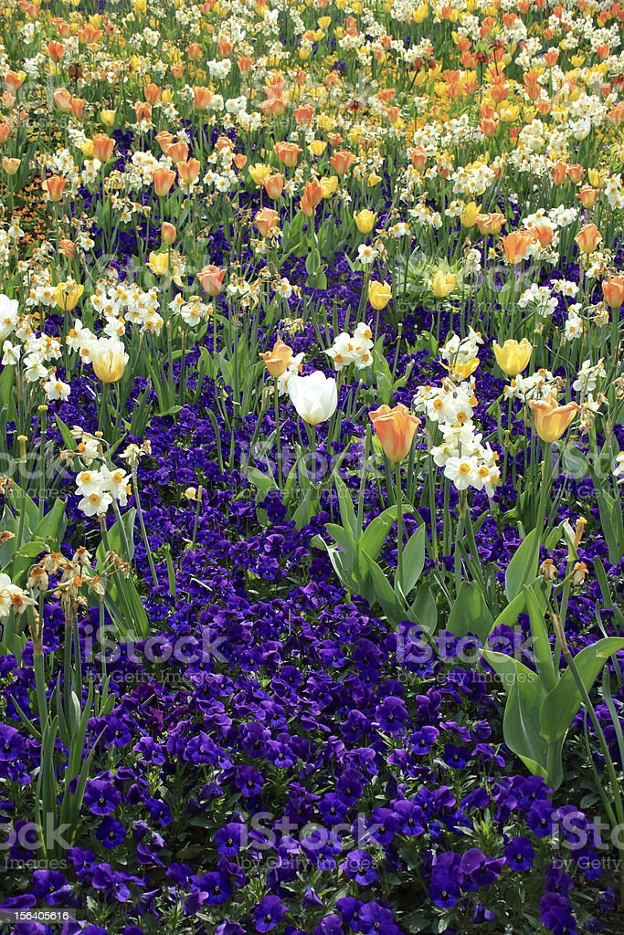 Field of multicolored flowers royalty-free stock photo