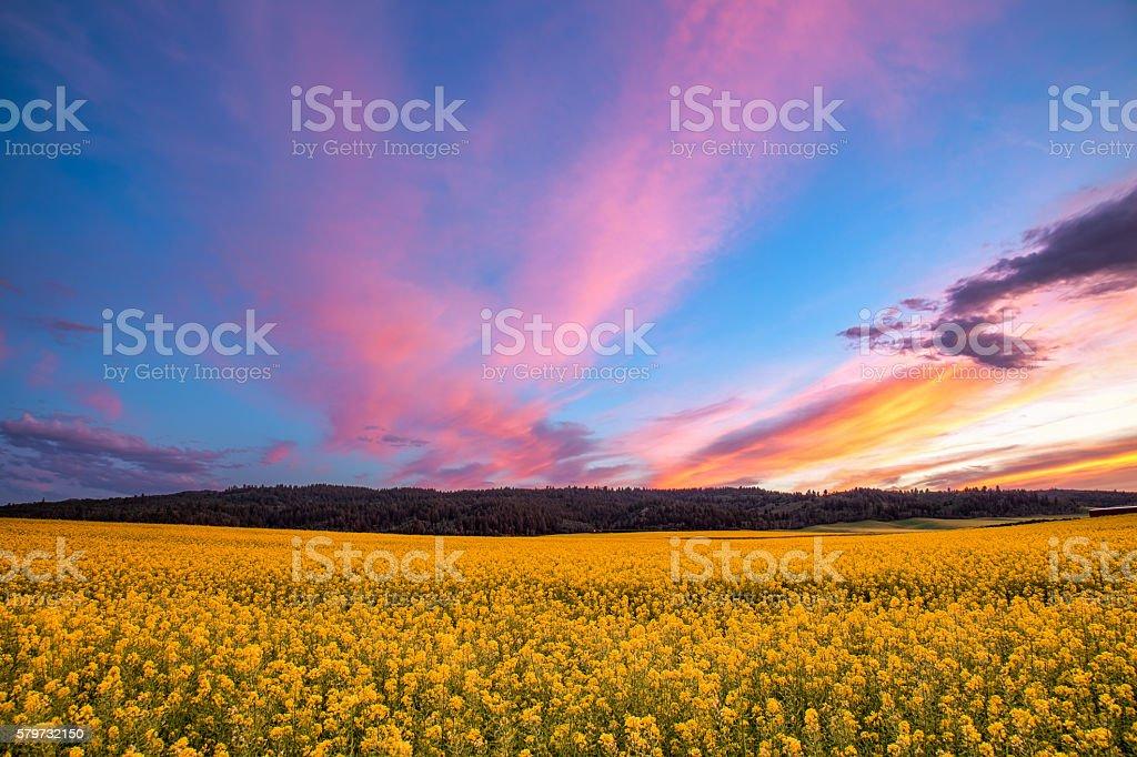 Field of Mustard at Sunset stock photo