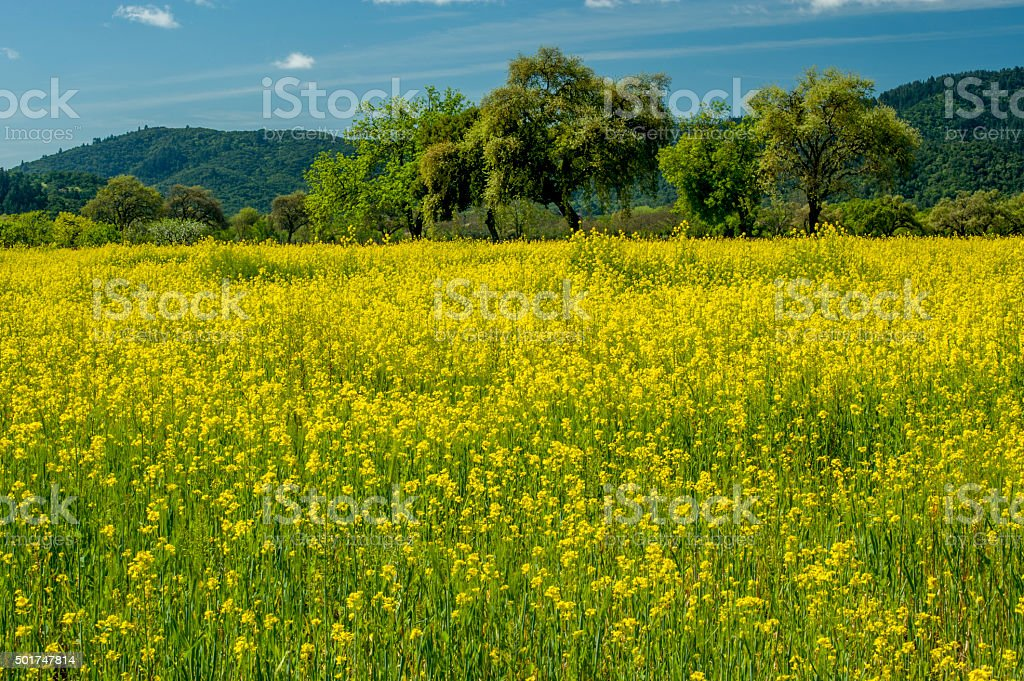 Field of Mustard, Napa Valley, California stock photo