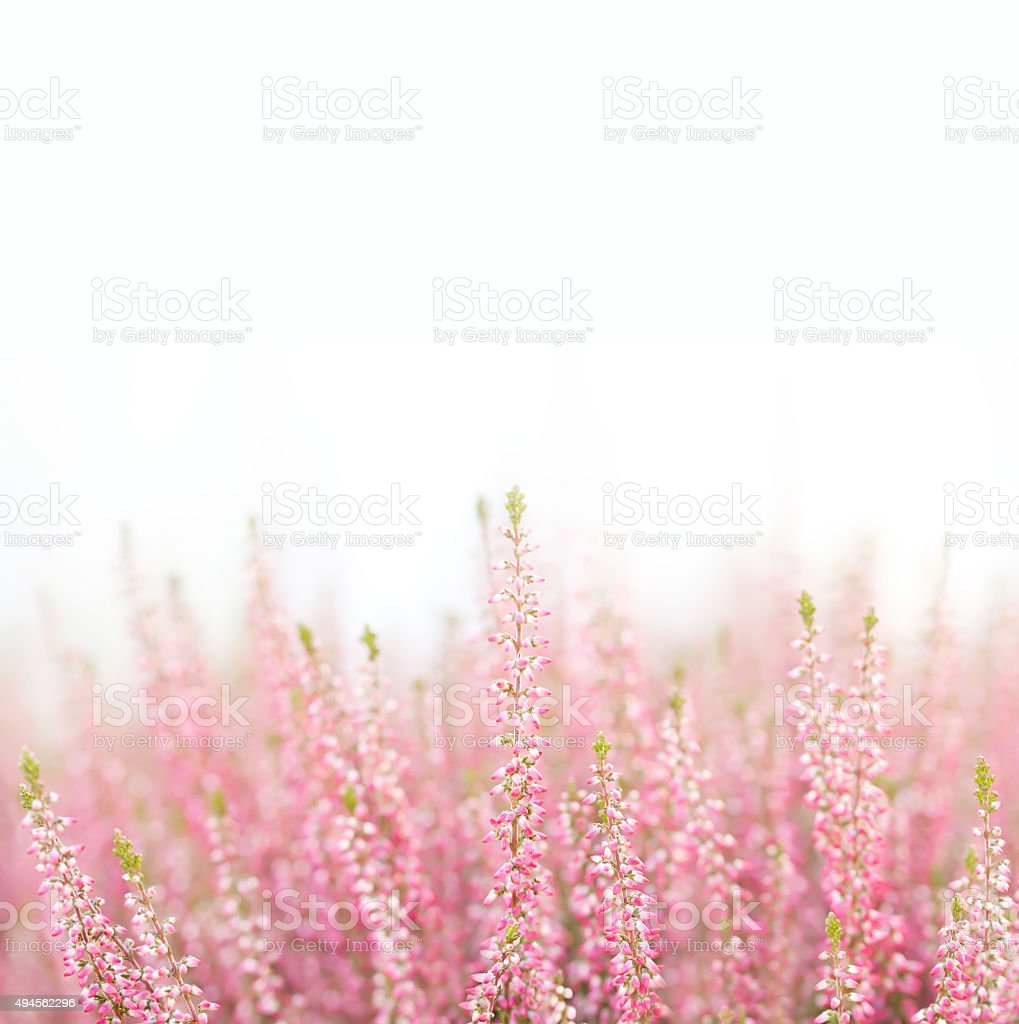 Field of natural, organic heather flowers. Small violet, pink color stock photo
