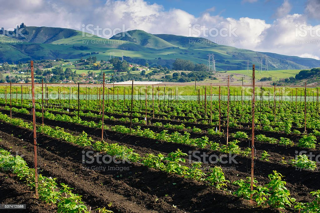 Field of New Organic Raspberry Plants Growing stock photo