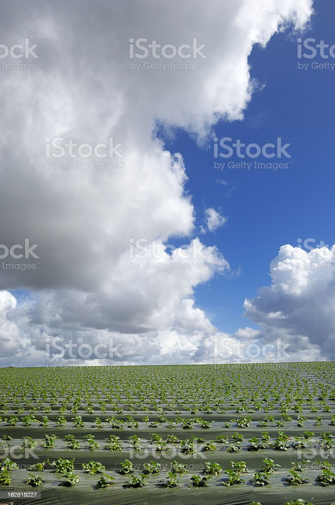Field of New Strawberry Plants royalty-free stock photo