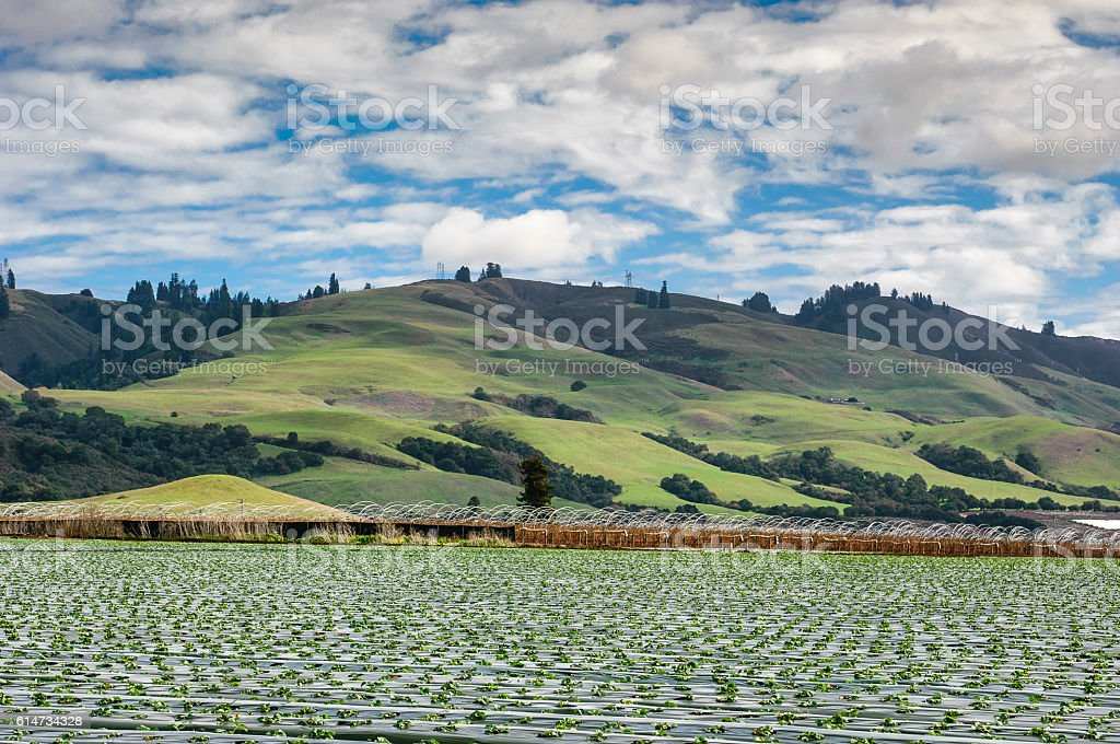 Field of New Strawberry Plants Under a Cloudy Sky stock photo