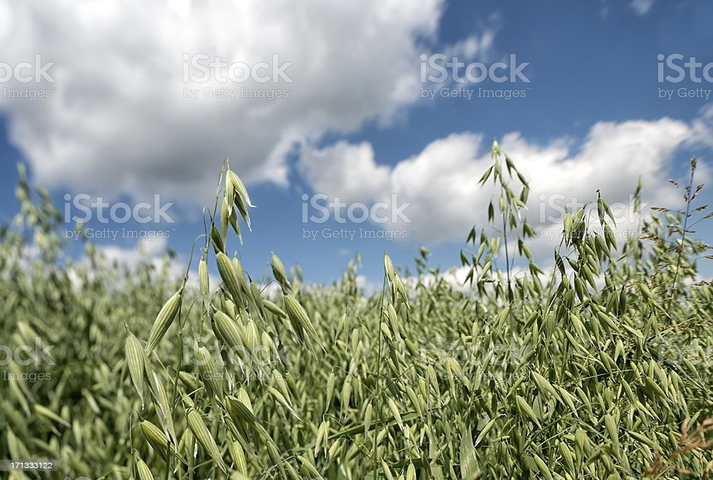 Field of oats against great cloudscape stock photo