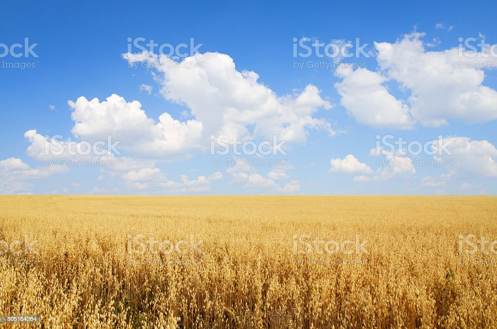Field of oats stock photo