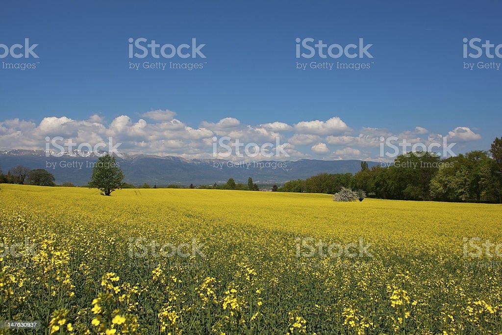 Field of Oilseed Rape and Swiss Jura mountains stock photo