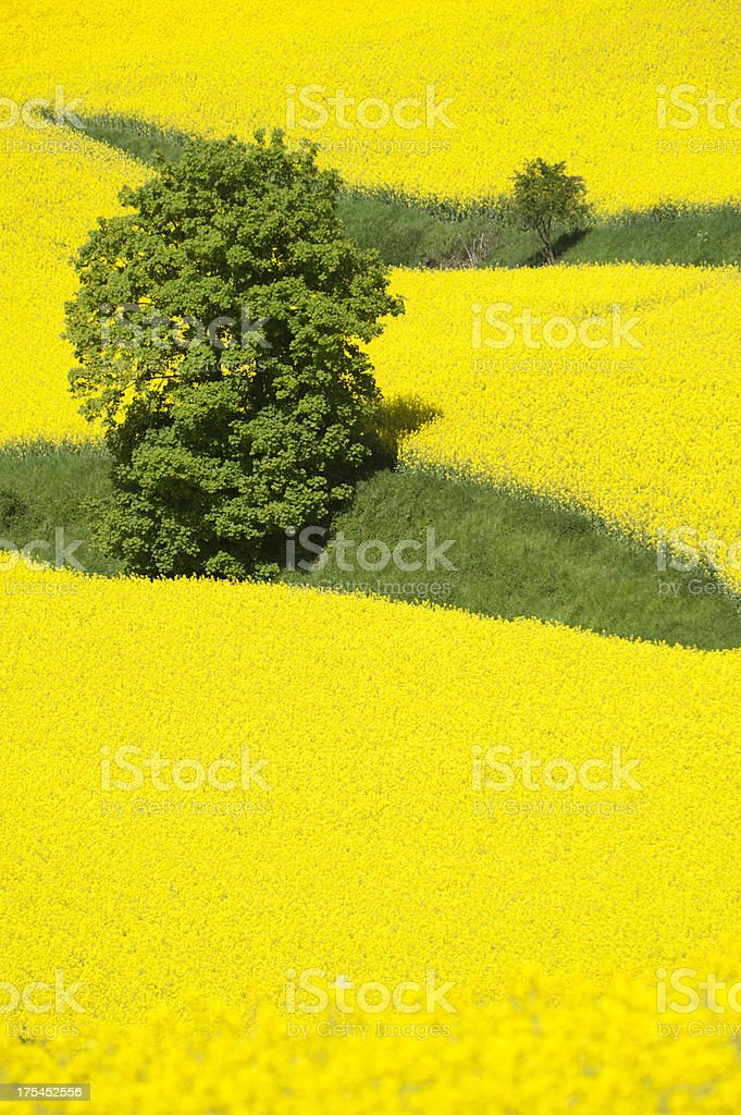 Field of oilseed rape canola Brassica napus stock photo