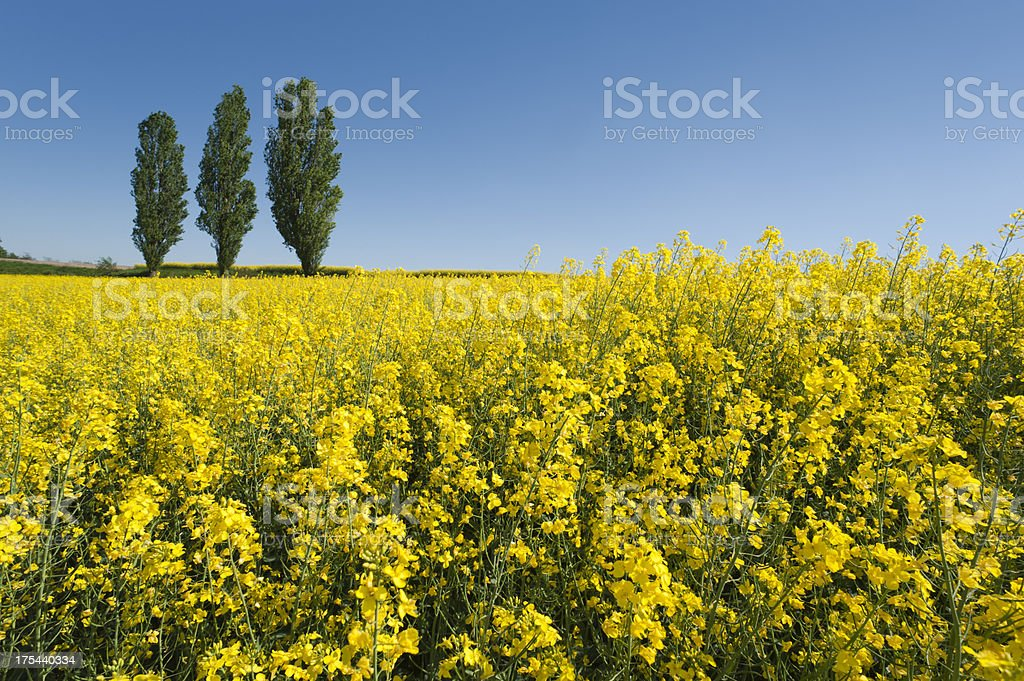 Field of oilseed rape canola royalty-free stock photo