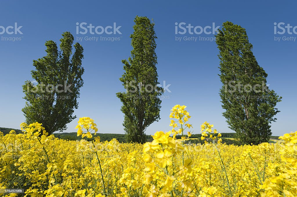 Field of oilseed rape canola stock photo