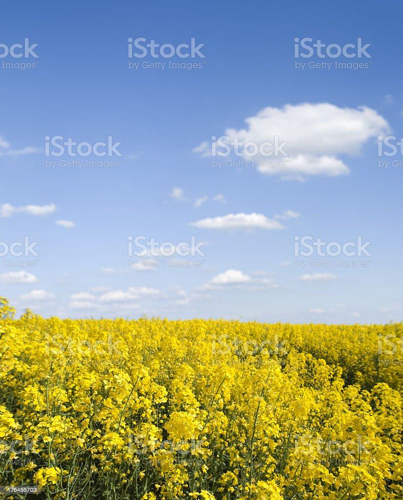 Field of oilseed rape canola   (image size XXXL) stock photo