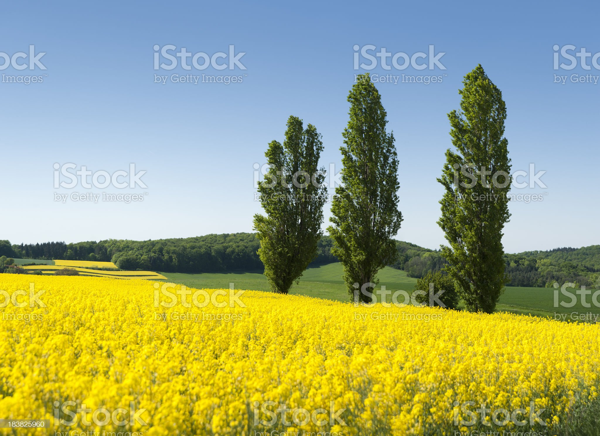 Field of oilseed rape canola  (image size XXXL) royalty-free stock photo