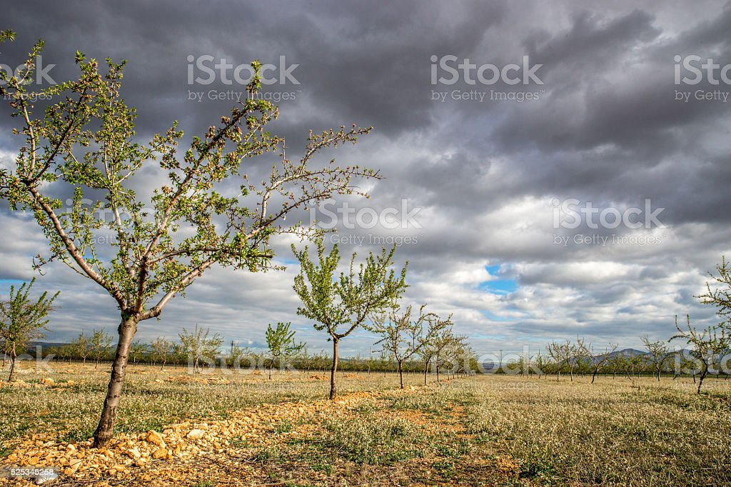 Field of olive trees in Andalusia stock photo