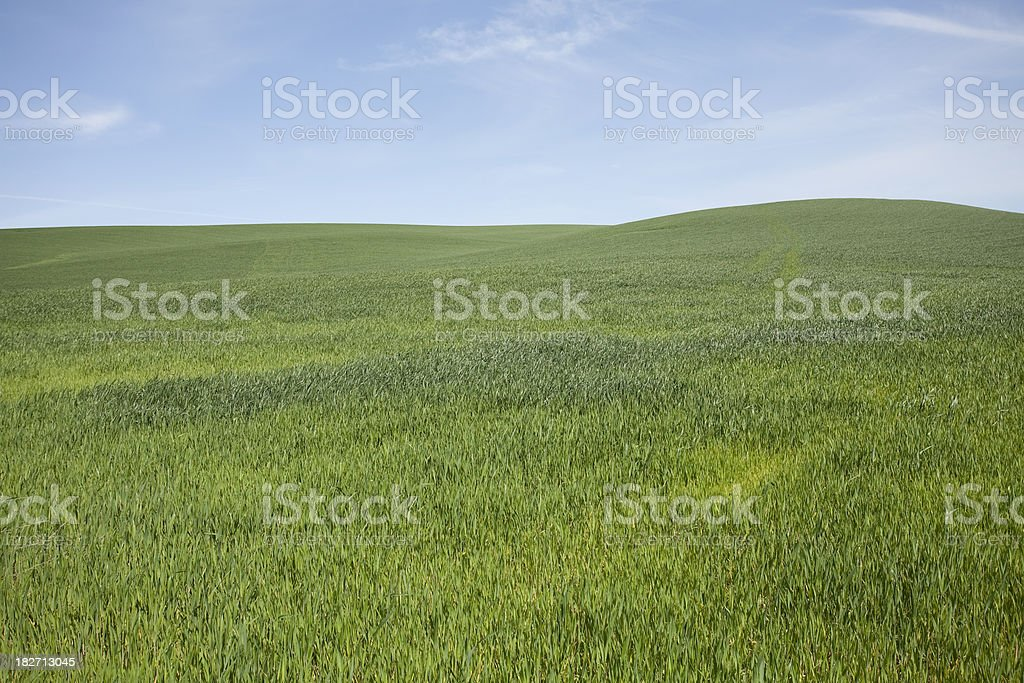 Field of Onions stock photo