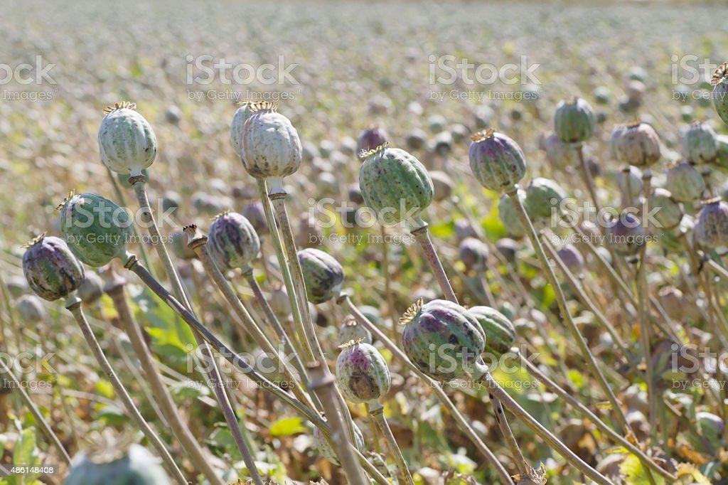 Field of Opium Poppy (Papaver somniferum) Seed Pods stock photo