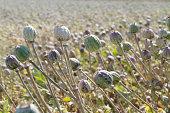 Field of Opium Poppy (Papaver somniferum) Seed Pods