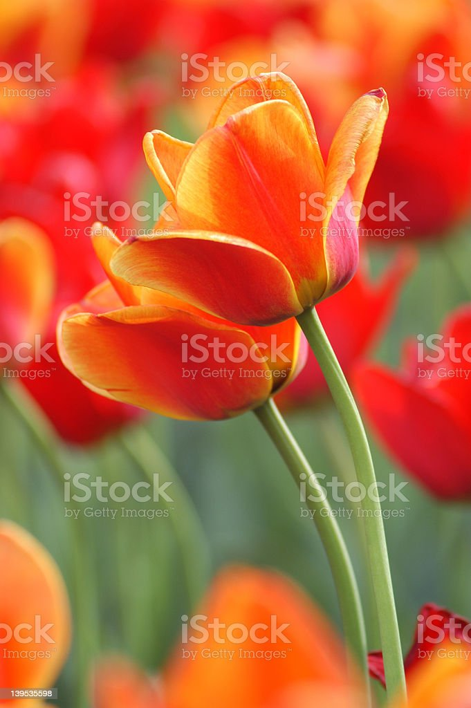 A field of orange and red tulips royalty-free stock photo