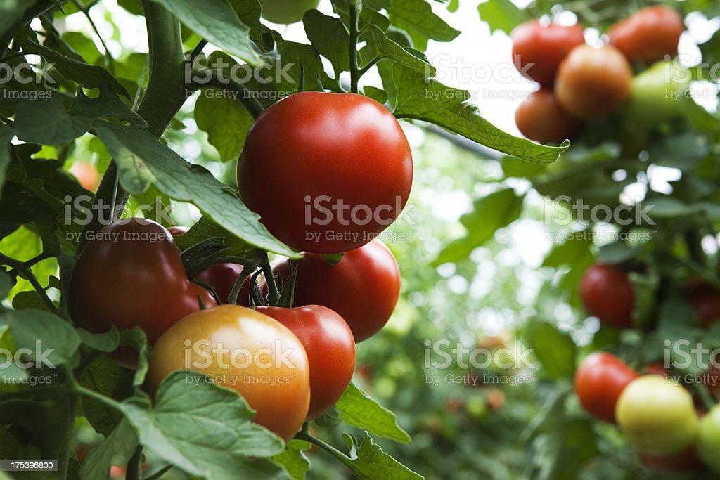 field of organic tomatoes stock photo