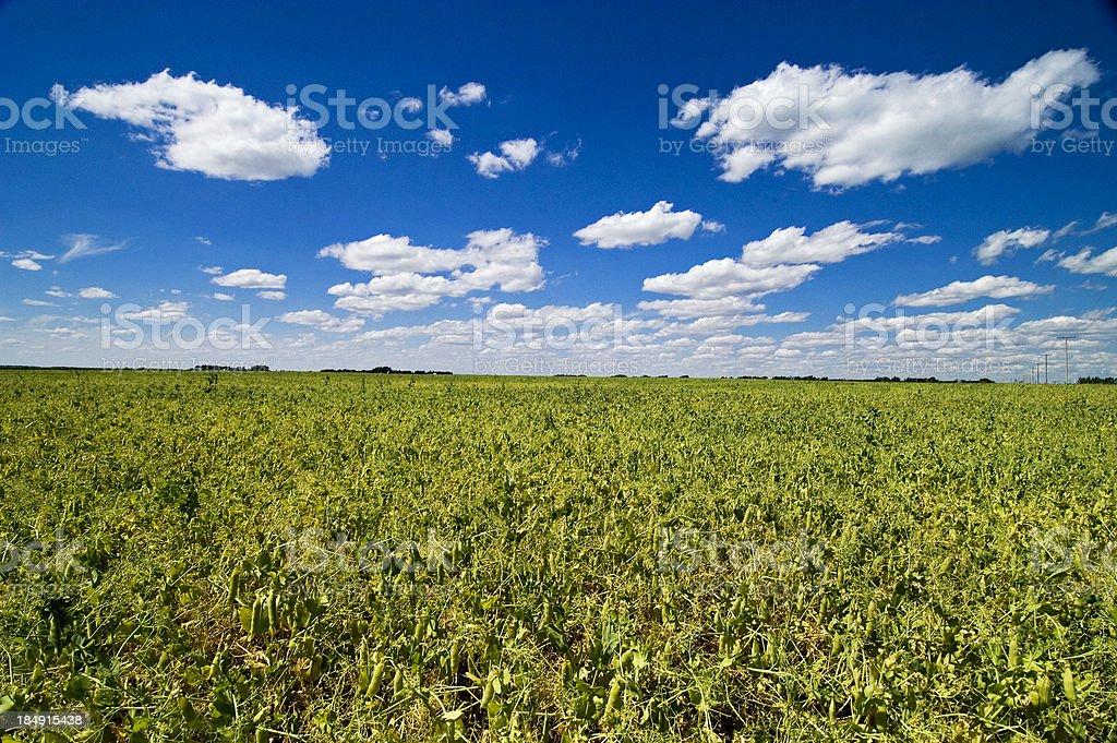 Field of peas royalty-free stock photo