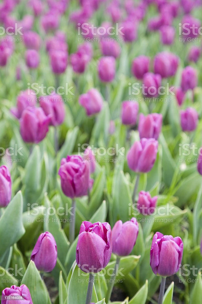 Field of pink magenta tulips royalty-free stock photo