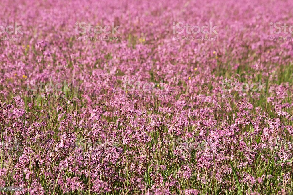 field of pink ragged lychnis stock photo