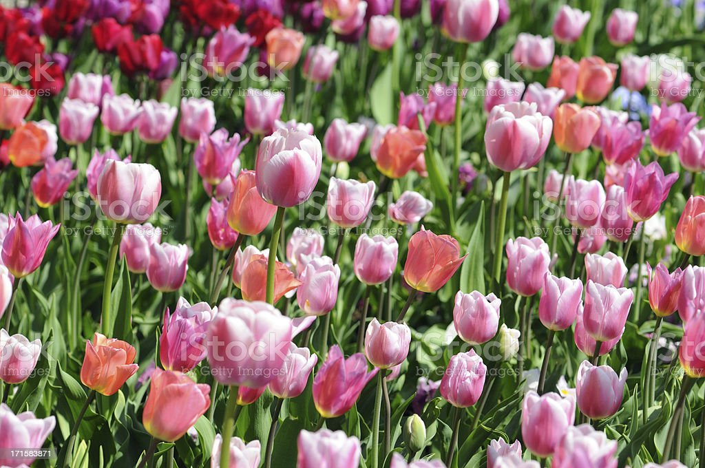field of pink tulips in back lit stock photo