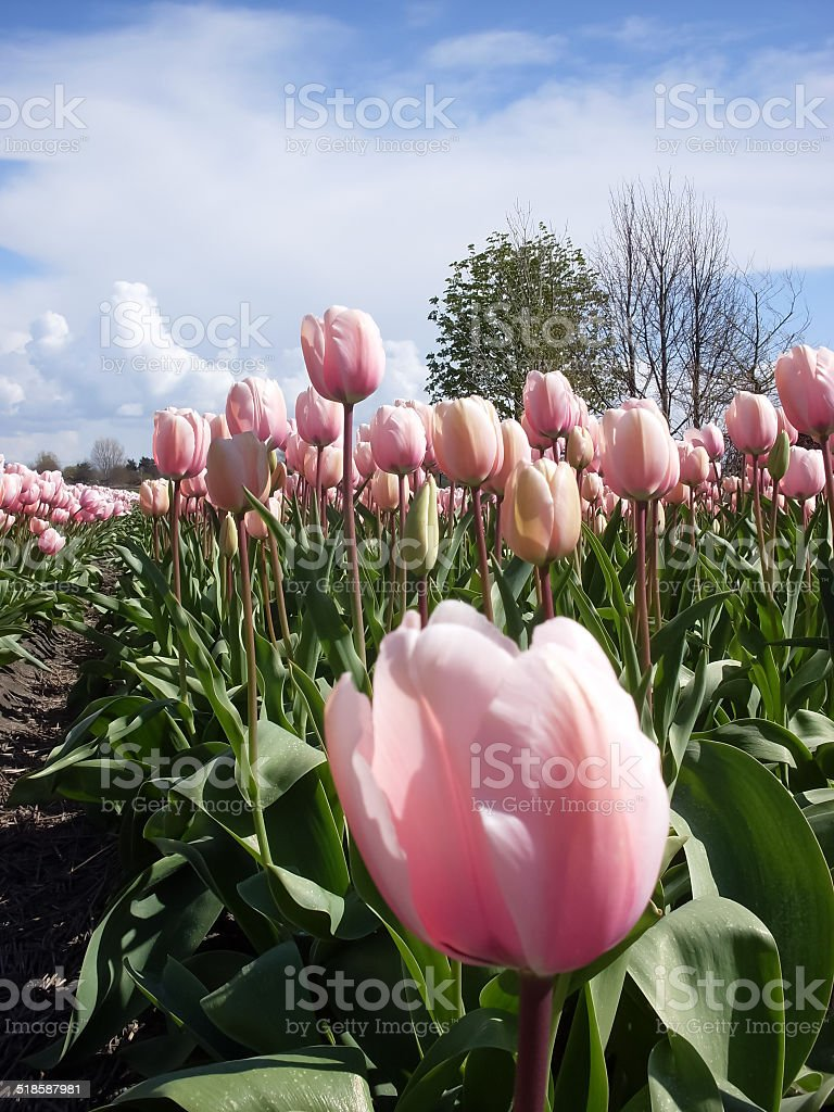 field of pink tulips in Holland royalty-free stock photo