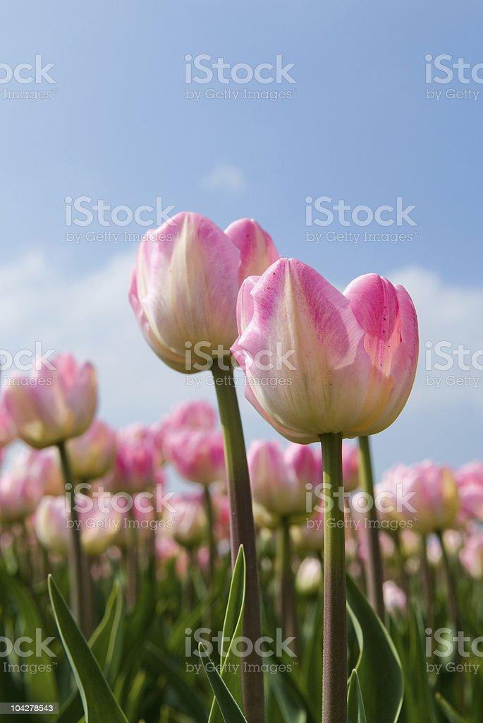 Champ de tulipes rose photo libre de droits