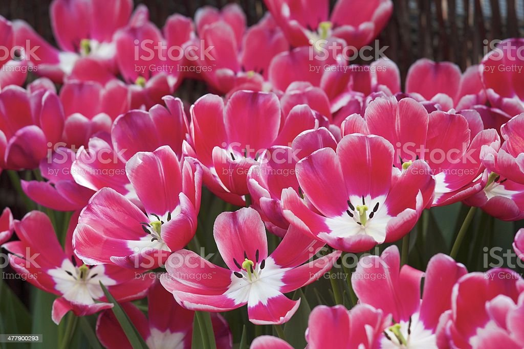 Field of Pink Tulips royalty-free stock photo