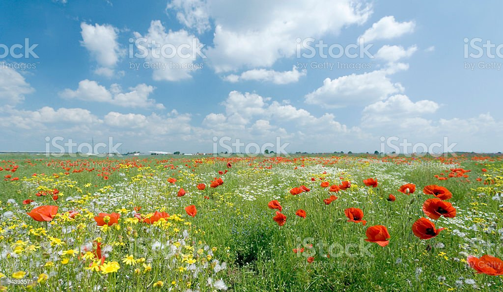 Field of poppies and flowers with romantic cloudscape royalty-free stock photo