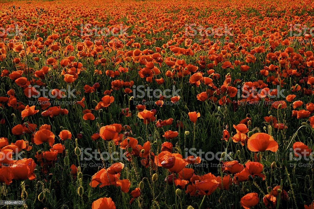 field of poppies, campo di papaveri royalty-free stock photo