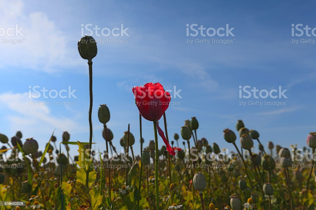 field of poppies on the Dutch island Texel stock photo